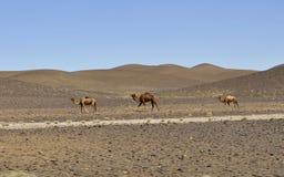 Καμήλες στην έρημο, Μαρόκο στοκ φωτογραφία με δικαίωμα ελεύθερης χρήσης