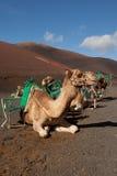 Καμήλες στην έρημο Στοκ Φωτογραφίες