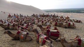 Καμήλες στην έρημο Στοκ εικόνα με δικαίωμα ελεύθερης χρήσης