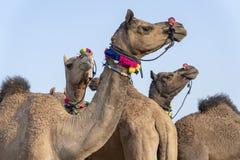 Καμήλες στην έρημο Thar κατά τη διάρκεια της έκθεσης καμηλών Pushkar, Rajasthan, Ινδία στοκ φωτογραφίες με δικαίωμα ελεύθερης χρήσης