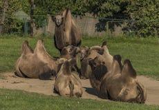 Καμήλες στην πράσινη χλόη στη θέση άμμου Στοκ φωτογραφίες με δικαίωμα ελεύθερης χρήσης