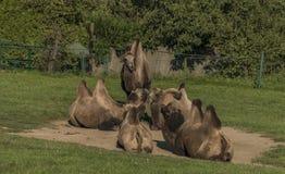Καμήλες στην πράσινη χλόη στη θέση άμμου Στοκ Εικόνες