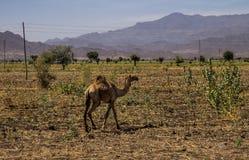 Καμήλες στο δρόμο σε Gheralta σε Tigray, βόρεια Αιθιοπία στοκ φωτογραφίες