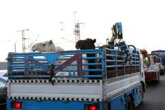 Καμήλες στο πίσω μέρος του φορτηγού στην εθνική οδό της Σαουδικής Αραβίας Στοκ Φωτογραφία