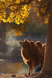 καμήλες το φθινόπωρο Στοκ φωτογραφίες με δικαίωμα ελεύθερης χρήσης