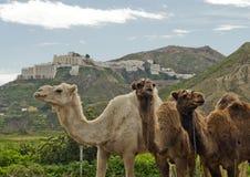 καμήλες τρία Στοκ Εικόνες