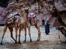 Καμήλες χαμένη στην η Petra πόλη, Στοκ Εικόνα