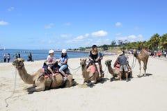 Καμήλες. Στοκ Φωτογραφίες