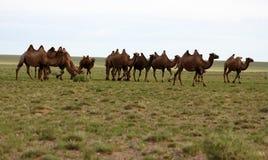 Καμήλες gobi της ερήμου Στοκ Εικόνες