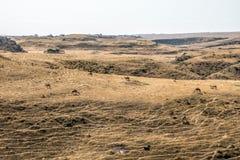 Καμήλα άγριας φύσης που τρώει το τοπίο Ομάν salalah Αραβικά 10 Στοκ φωτογραφία με δικαίωμα ελεύθερης χρήσης