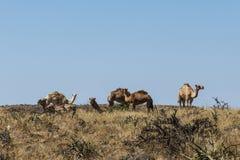 Καμήλα άγριας φύσης που τρώει το τοπίο Ομάν salalah Αραβικά 10 Στοκ Φωτογραφίες