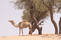 καμήλα απομονωμένη Στοκ φωτογραφία με δικαίωμα ελεύθερης χρήσης