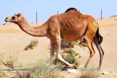 Καμήλα επιδορπίων Στοκ φωτογραφίες με δικαίωμα ελεύθερης χρήσης