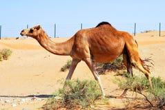 Καμήλα επιδορπίων Στοκ φωτογραφία με δικαίωμα ελεύθερης χρήσης