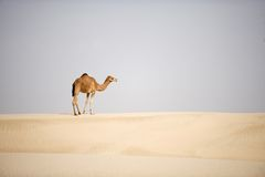 Καμήλα ερήμων Στοκ φωτογραφία με δικαίωμα ελεύθερης χρήσης
