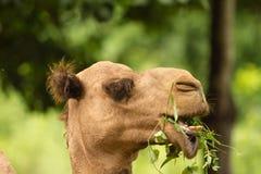 Καμήλα ερήμων Στοκ Φωτογραφίες
