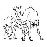 Καμήλα και καμήλα (απλό σκίτσο) Στοκ Εικόνα