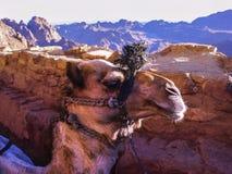 Καμήλα Κινηματογράφηση σε πρώτο πλάνο Στοκ Εικόνες