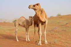 Καμήλα με το μόσχο Στοκ εικόνες με δικαίωμα ελεύθερης χρήσης