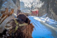 Καμήλα μπροστά από το στάβλο με την τουρκική σημαία, Capadoccia, Τουρκία Στοκ εικόνες με δικαίωμα ελεύθερης χρήσης