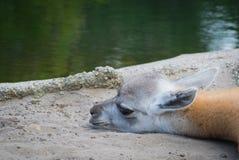 Καμήλα μωρών που φαίνεται χαριτωμένη Στοκ φωτογραφίες με δικαίωμα ελεύθερης χρήσης