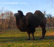 Καμήλα πορτρέτου στο πάρκο φθινοπώρου στοκ εικόνες με δικαίωμα ελεύθερης χρήσης