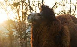 Καμήλα πορτρέτου στο πάρκο φθινοπώρου στοκ φωτογραφίες