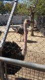 Καμήλα-πουλί Στοκ εικόνα με δικαίωμα ελεύθερης χρήσης