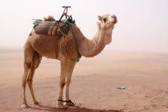 Καμήλα που στέκεται στην αμμοθύελλα Στοκ Φωτογραφία