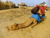 Καμήλα που στηρίζεται κατά τη διάρκεια του σαφάρι καμηλών, Thar έρημος, Ινδία Στοκ Εικόνες