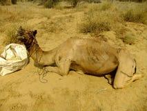 Καμήλα που στηρίζεται κατά τη διάρκεια του σαφάρι καμηλών, Thar έρημος, Ινδία Στοκ φωτογραφίες με δικαίωμα ελεύθερης χρήσης