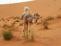 Καμήλα σε Merzouga, Μαρόκο στοκ εικόνες