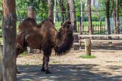 Καμήλα στο ζωολογικό κήπο, ζωικός κόσμος, Tbilisi, Γεωργία Στοκ Εικόνες