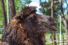 Καμήλα στο ζωολογικό κήπο, ζωικός κόσμος, Tbilisi, Γεωργία Στοκ εικόνες με δικαίωμα ελεύθερης χρήσης