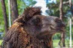Καμήλα στο ζωολογικό κήπο, ζωικός κόσμος, Tbilisi, Γεωργία Στοκ Φωτογραφίες