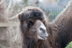 Καμήλα στο ζωολογικό κήπο Στοκ Φωτογραφία