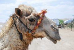 Καμήλα στο Ισραήλ Στοκ Εικόνα