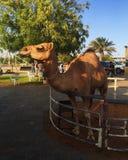 Καμήλα στο Ντουμπάι Στοκ εικόνα με δικαίωμα ελεύθερης χρήσης