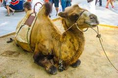 Καμήλα στο πολυάσχολο κινεζικό πάρκο Στοκ Φωτογραφία