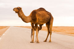 Καμήλα στο δρόμο Στοκ εικόνες με δικαίωμα ελεύθερης χρήσης