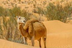 Καμήλα Dromedary Στοκ εικόνα με δικαίωμα ελεύθερης χρήσης