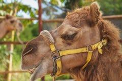 Καμήλα Smily Στοκ φωτογραφία με δικαίωμα ελεύθερης χρήσης