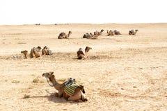 Καμήλες, έρημοι Σαχάρας, Τυνησία Στοκ Εικόνες