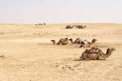 Καμήλες, έρημοι Σαχάρας, Τυνησία Στοκ Εικόνα