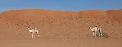 Καμήλες έτοιμες για το ταξίδι Στοκ Εικόνες