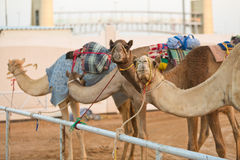 Καμήλες λεσχών αγώνα καμηλών του Ντουμπάι που περιμένουν να συναγωνιστεί στο ηλιοβασίλεμα στοκ φωτογραφίες με δικαίωμα ελεύθερης χρήσης