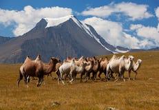 Καμήλες κοπαδιών ενάντια στο βουνό. Altay βουνά στοκ εικόνες