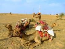 Καμήλες που στηρίζονται κατά τη διάρκεια του σαφάρι καμηλών, Thar έρημος, Ινδία Στοκ φωτογραφία με δικαίωμα ελεύθερης χρήσης