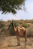 Καμήλες που στηρίζονται κατά τη διάρκεια του σαφάρι καμηλών, Thar έρημος, Rajasthan, Indi Στοκ φωτογραφία με δικαίωμα ελεύθερης χρήσης