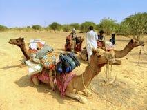 Καμήλες που στηρίζονται κατά τη διάρκεια του σαφάρι καμηλών, Thar έρημος, Rajasthan, Indi Στοκ Εικόνα